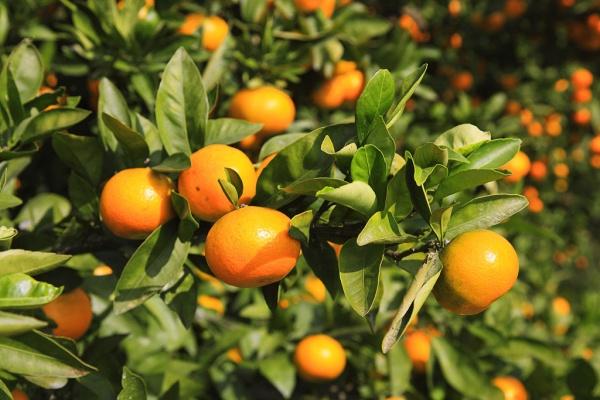 Клоп-вредитель уничтожил больше половины урожая абхазских мандаринов