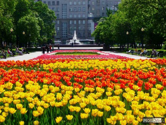 Весной в российской столице зацветут виолы
