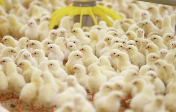 Граждане  грузинского города пережили нашествие цыплят— Цыпо-апокалипсис