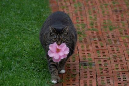 ВКанаде толстая кошка научилась дарить хозяйке цветы