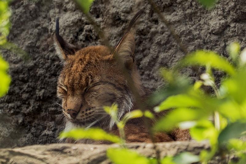 Три котенка европейской рыси родились в Московском зоопарке
