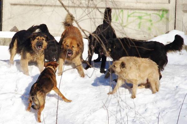 Схвачен подозреваемый поделу онападении собак вИстринском районе
