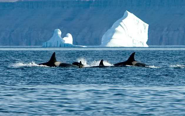 состав касатки в северном ледовитом океане это белье
