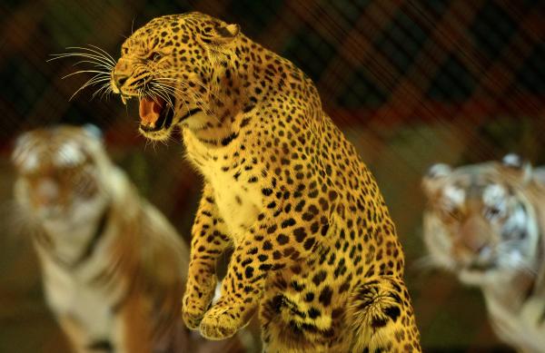 Гражданин Нижнего Новгорода выгуливал леопарда надетской площадке