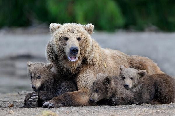 Медведица на Камчатке приютила косолапого сироту