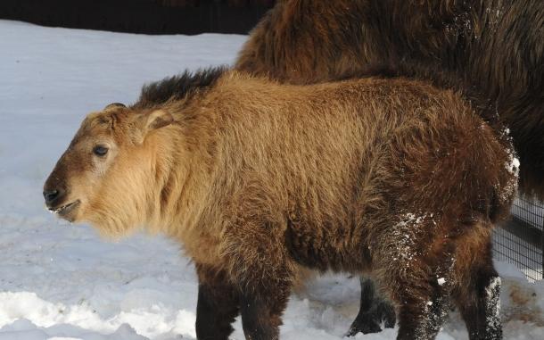 Детеныш сычуаньских такинов появился вМосковском зоопарке